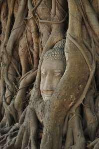 The Buddha Head in A Tree
